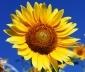 Floarea Soarelui: 1, 10, 19, 28